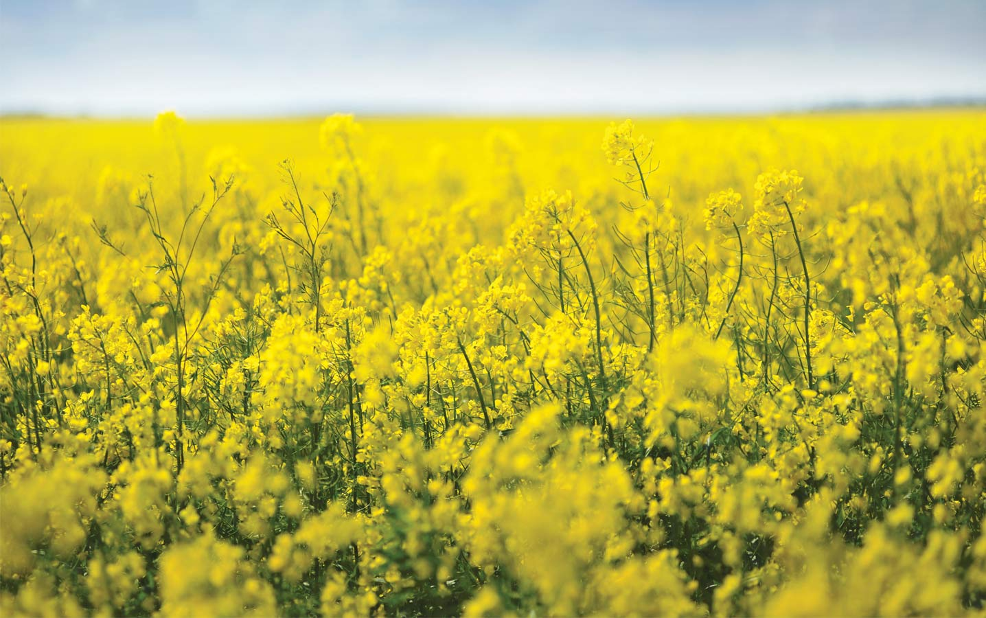 Close up on a bright yellow field of Canola