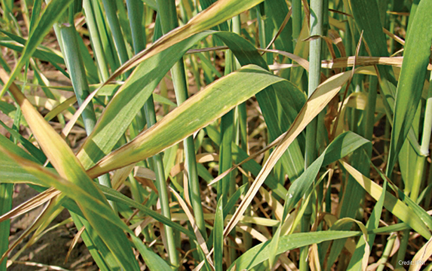 Potassium deficiency symptoms will show up in cereals well before it shows up in canola. As you can see in this photo, potassium deficiency in barley looks a lot like leaf diseases. Soil tests and tissue tests may help identify the problem.