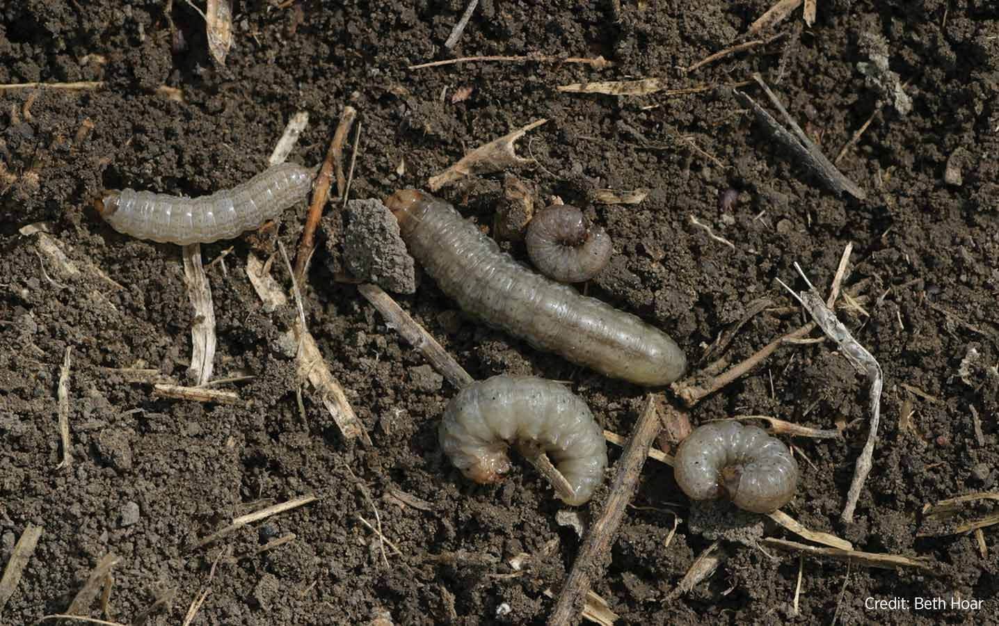 During cutworm outbreaks, accurate and rapid identification is required to maximize control methods.