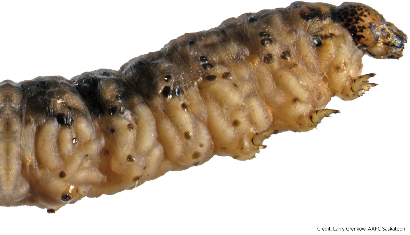 Insecticide application is the most common control option for cutworms in canola but it is very difficult to manage.
