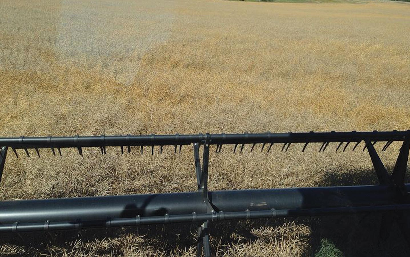 Studies have found that lower harvest losses in canola are associated with higher yield potential, especially when straight combining. This could be attributed to the additional strategies high-yielding growers carry out earlier in the season, such as seeding early, early weed control and frequent field scouting.