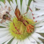 Spiders eat lygus bugs