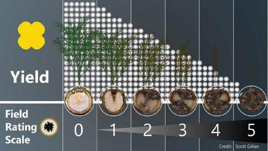 blackleg field rating scale