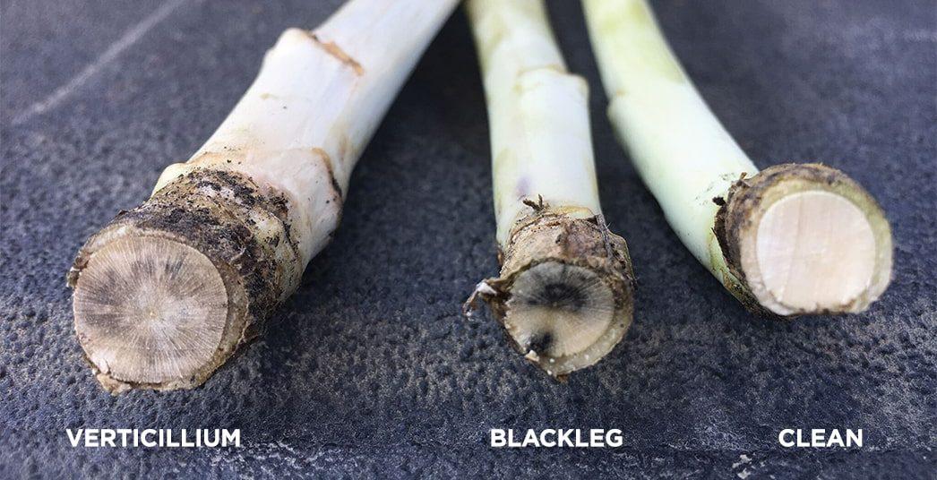 Comparison of Verticillium, Blackleg and Clean