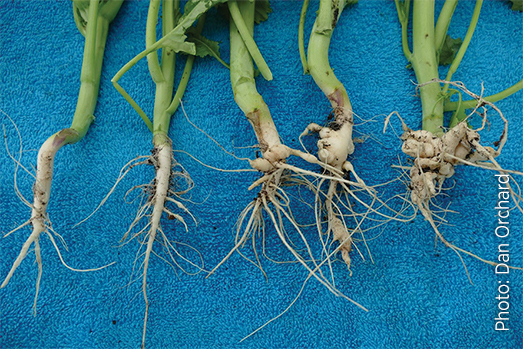 Canola roots exhibiting varying degrees of clubroot