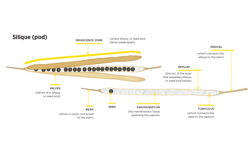 Diagram of a silique (pod)